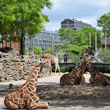Giraffes at Artis, Amsterdam