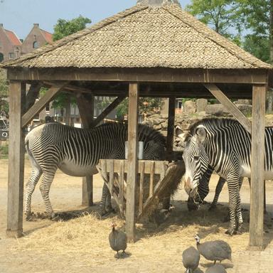 Zebras in Artis, Amsterdam